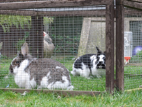 Rabbits In Hutch