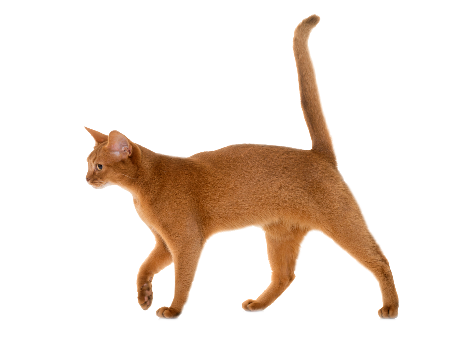 abyssinian-cat-in-studio
