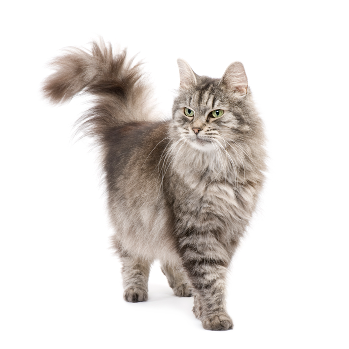 crossbreed-siberian-cat