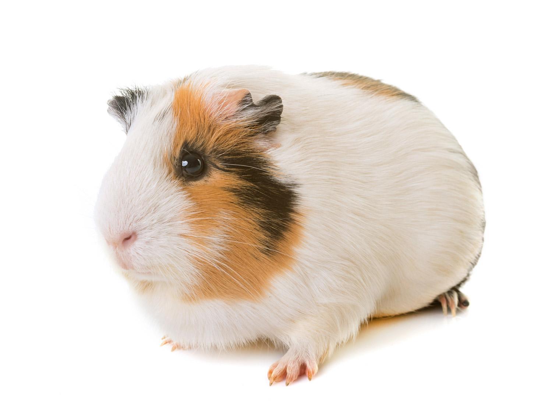 guinea-pig-in-studio